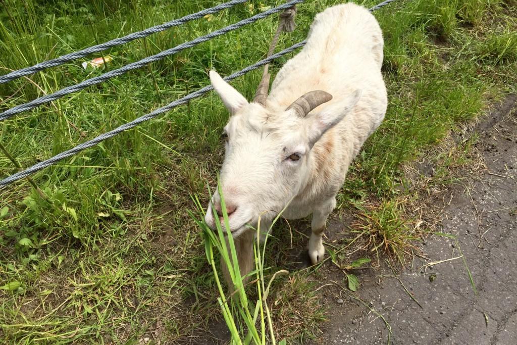 【日本一周】「なんでそこで草食ってんの?」出会いは人間だけとは限らず。ヤギとキツネの物語。