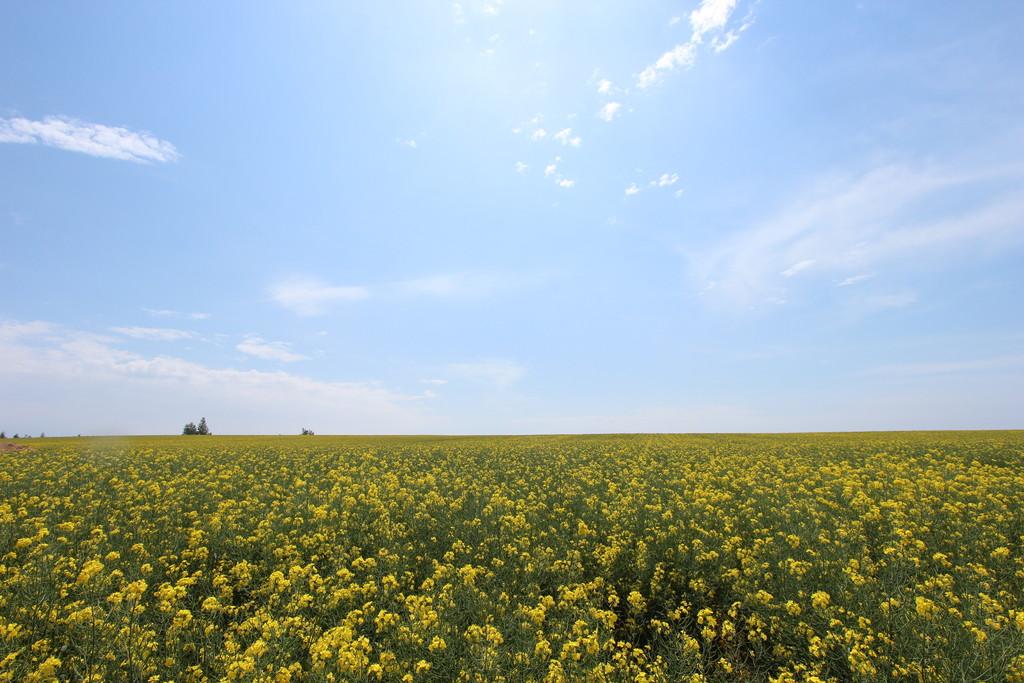 【日本一周】北海道らしい菜の花畑を見てきたよ!日本一の作付面積を誇る、北海道・滝川市の菜の花畑。