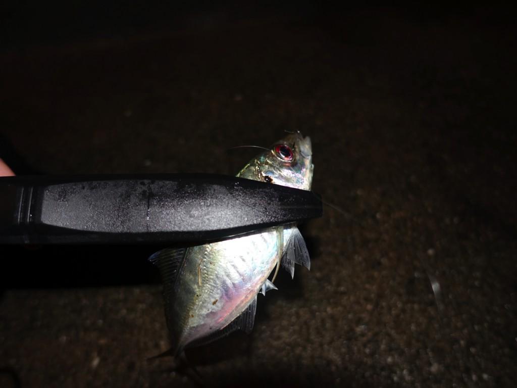 雨の日のアジングって釣れるの?どれだけ釣果に影響するかチャレンジ