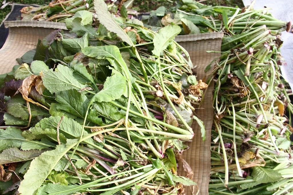 長野県は漬物天国!「野沢菜」を貰ったので、収穫から漬ける作業までやってみた!