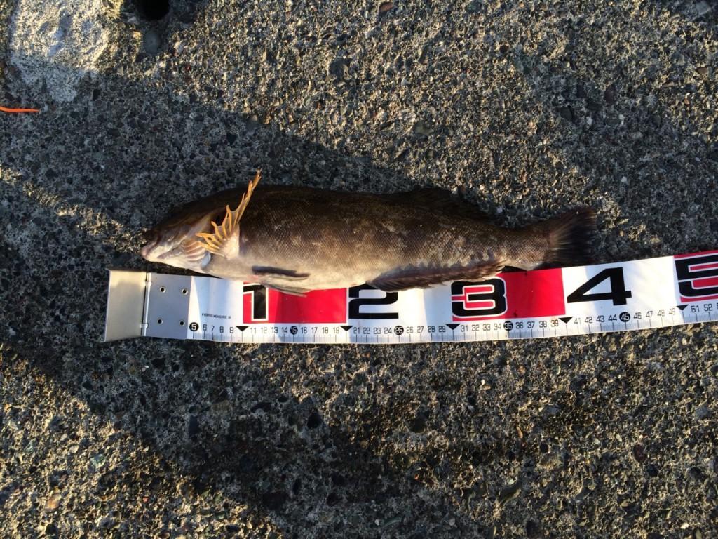 【ロックフィッシュ】アイナメ(アブラコ)をルアーで釣る方法とは?時期・攻略法