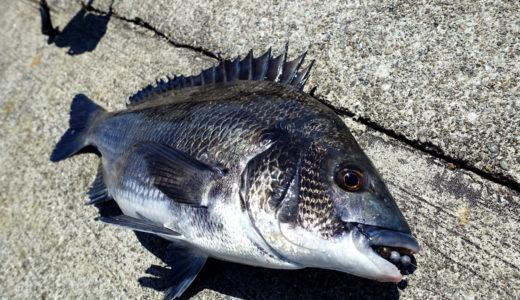 【チニング入門】初心者でもクロダイ(黒鯛)が釣れる!釣り方とタックルを徹底解説!